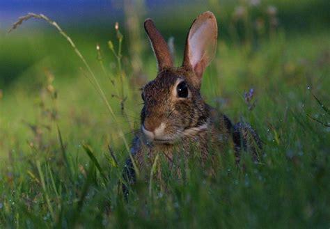 pattes de lapin porte bonheur images