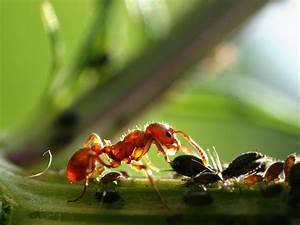 Mittel Gegen Rote Ameisen : ameisen nat rlich und chemisch bek mpfen ~ Whattoseeinmadrid.com Haus und Dekorationen