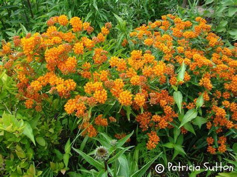 Sources Of Native Plants  Pat Sutton's Wildlife Garden