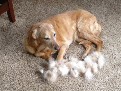 small white non shedding breeds 100 non shedding small dogs dogs that don