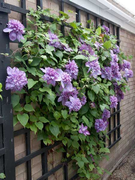 25+ Best Ideas About Clematis Plants On Pinterest