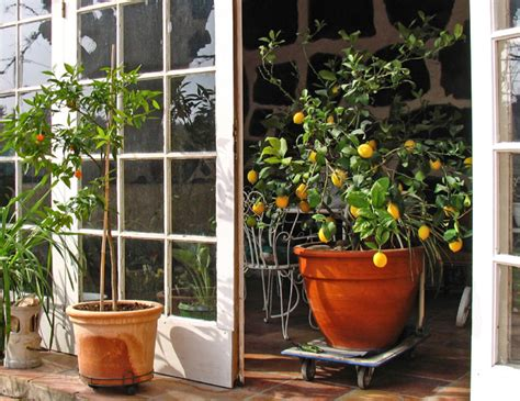 taille du citronnier oranger et agrumes quand et comment tailler un agrume