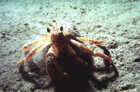 crabs lobsters prawns barnacles