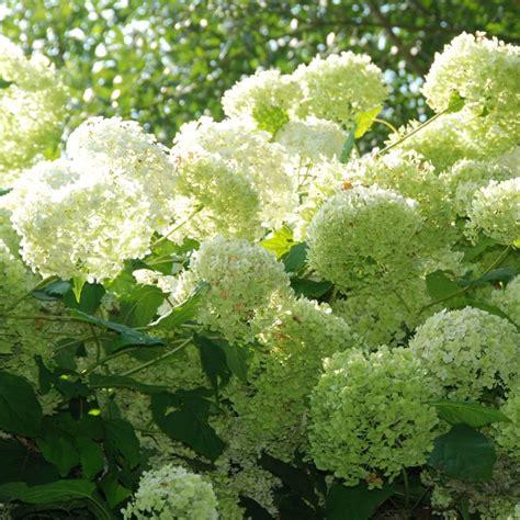 hortensia annabelle plantes et jardins