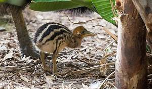 Southern cassowary chick born in Perth - Australian Geographic