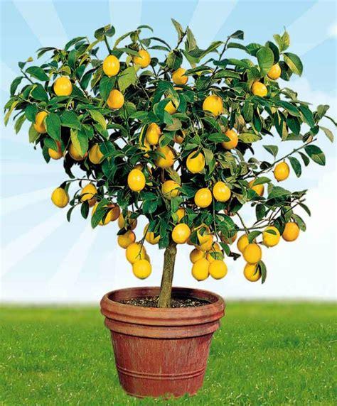 citronnier en pot toutes les informations pour le cultiver