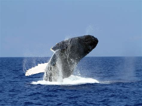 Zodiac Boat Maui by Captain Zodiac Whale Watch Hawaii Discount