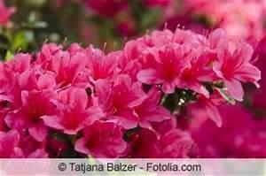 Rhododendron Eingerollte Blätter : rhododendron hat gelbe braune bl tter was tun ~ Markanthonyermac.com Haus und Dekorationen