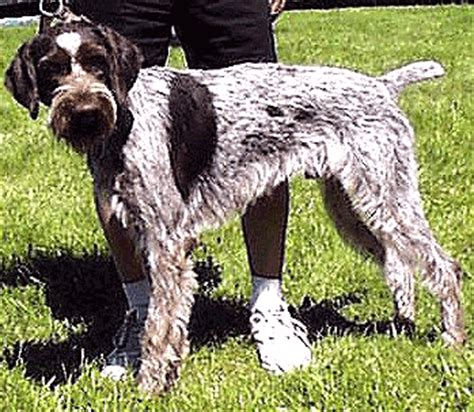german wirehaired pointer breed information puppies