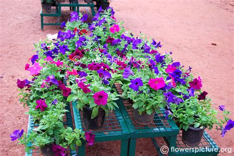 petunias in pots images