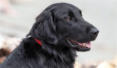 flat coat retriever picture and images