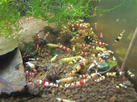crevette aquarium eau douce nourriture