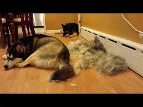 siberian husky shedding blowing coat doovi