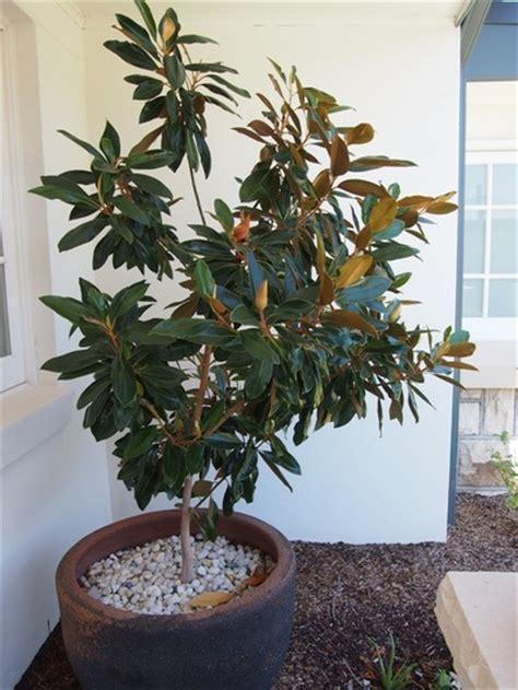magnolia grandiflora gem plantpedia