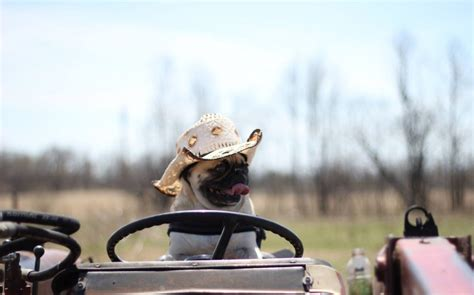 Boat Driving Dog by Atom The Pug Drives A Construction Truck Rides A Horse
