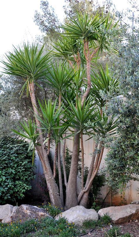 Yucca Plants  Google Search  Plants  Pinterest Yucca