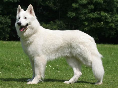 berger blanc suisse chien et chiot white swiss shepherd berger blanc am 233 ricain berger