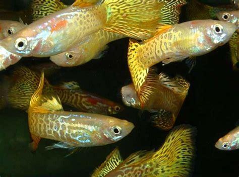 ph aquarium eau douce guppy aquariophilie eau douce le gourami nain autres poissons les