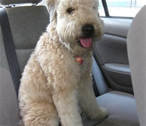 soft coated wheaten terrier dogs soft coated wheaten terrier breed info pictures petmd