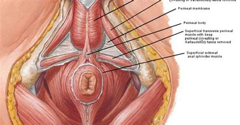 pelvic floor get to your pelvic anatomy