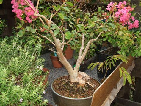 bonsa 239 cr 233 ation fiche d entretien du lilas syringa vulgarisa