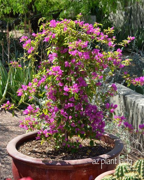container gardening growing bougainvillea in pots ramblings from a desert garden