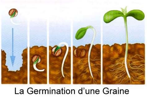 tutos la germination des graines de cannabis