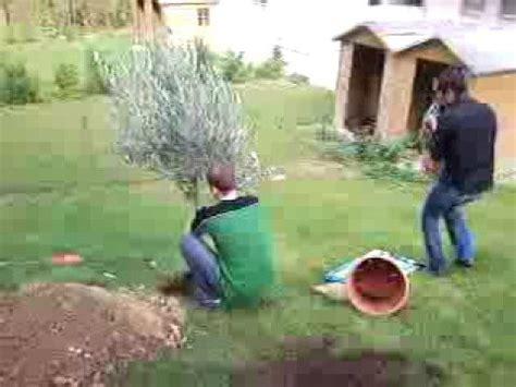 plantation de l olivier