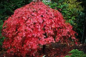 Baum Für Schattigen Vorgarten : the graceful gardener my love affair with japanese maples ~ Markanthonyermac.com Haus und Dekorationen