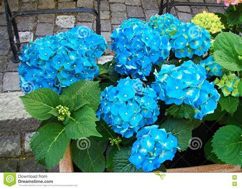 fleurs bleues en pot