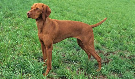 vizsla puppy shedding a lot vizsla mix breeds picture breeds picture