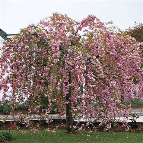 acheter cerisier 224 fleurs pleureur pas cher au meilleur prix