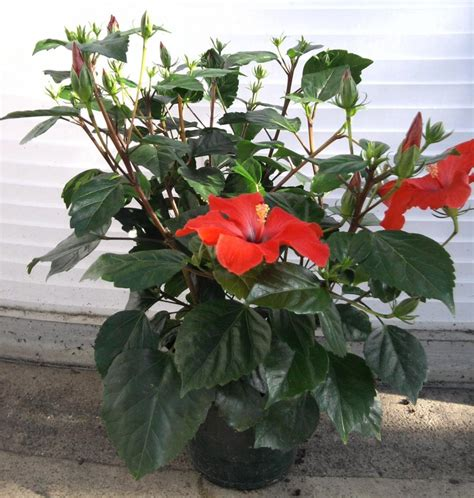 plantes fleuries d interieur