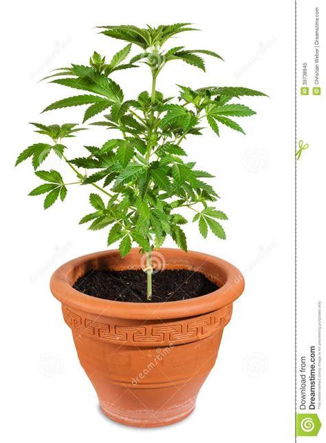 plantation cannabis exterieur en pot 28 images plus de 40 000 plants de pot arrach 233 s