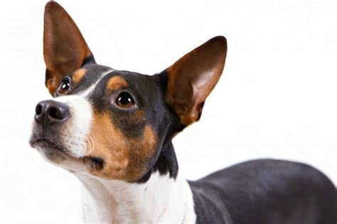rat terrier breed information american kennel club