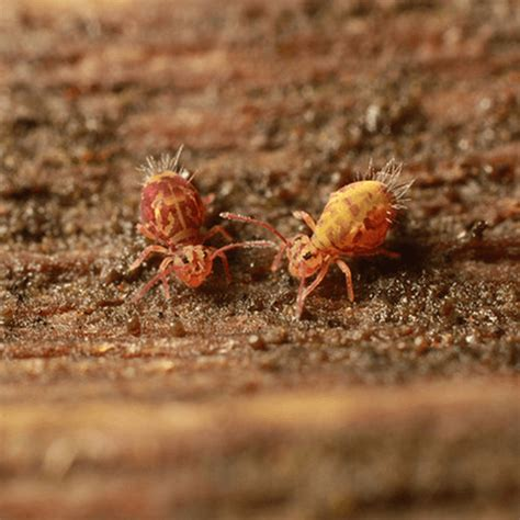 how to get rid of springtails how to get rid of stuff