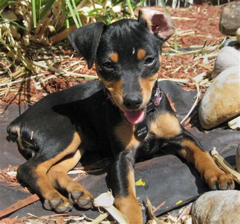 Do Miniature Pinschers Shed by Miniature Pinscher Information Page 11 Breeds Picture