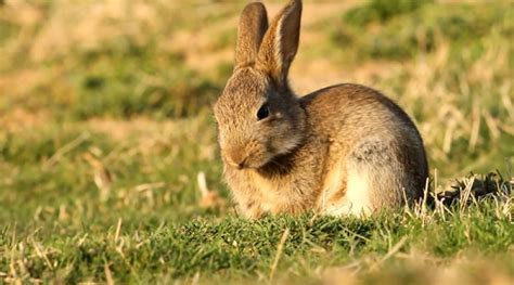 le lapin de garenne