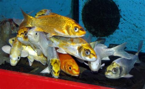 carpe ko 207 ghost poissons eau froide vente magasin