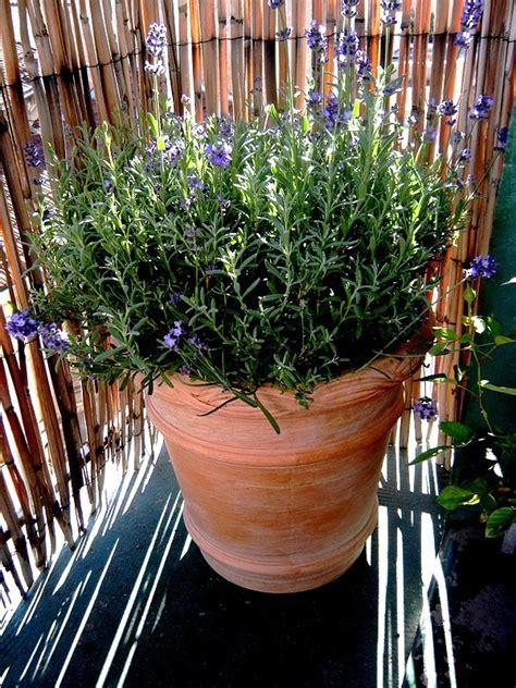 lavande en pot terre cuite au jardin forum de jardinage