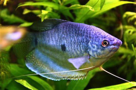 aquarium poisson eau douce poisson naturel