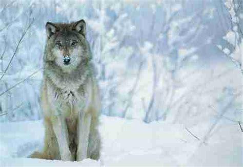 loup le pour quelle raison la louve qui dirige la meute choisit de confier l 233 ducation