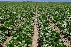 Sugar Beets » Green Cover Seed