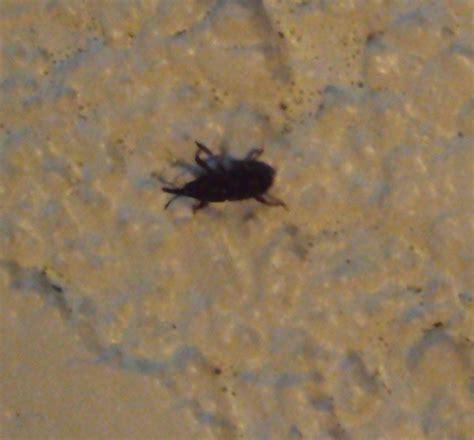petit insecte noir qui pullule dans notre cave notre planete info