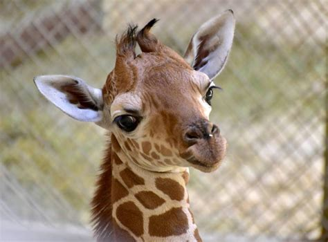 Giraffe Calf Takes Baby Steps Toward A Healthy Future Zooborns