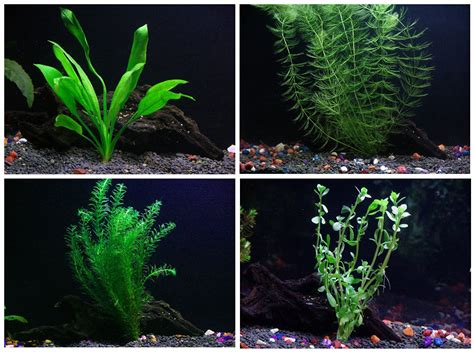 easy live aquarium plants package 4 kinds anacharis and more aquarium plants for sale