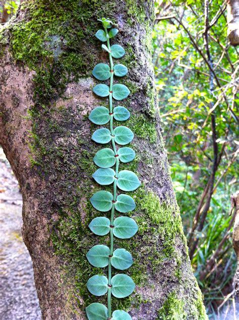 Climbers Plants Names  Wwwimgkidcom  The Image Kid Has It