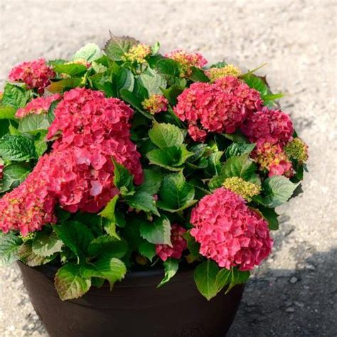 how to grow hydrangeas in containers growing hydrangea make it and pots