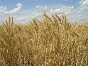 Disease pressure 'high' in UK grains crops | Agricultural Wire
