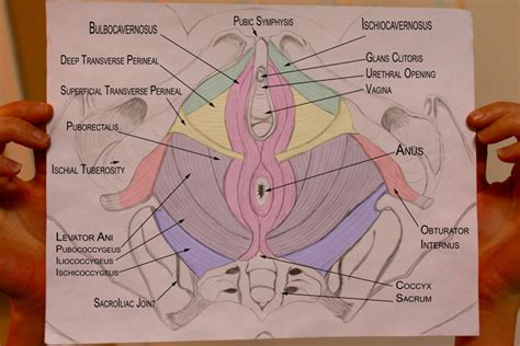 perineal anatomy diagram perineal free engine